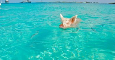 Bahamas, Pig Island, l'isola dei maialini (felici)