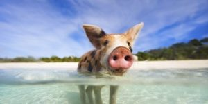 Bahamas, Isola dei Maiali, Pig Island (conosciuta anche come Pig Beach)
